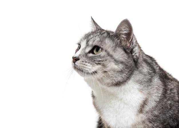 Gros plan sur un chat de race mixte gris, isolé sur blanc