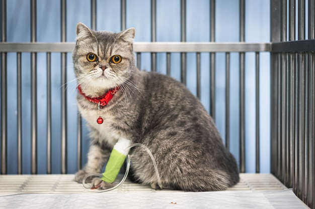 Gros plan d'un chat scottish fold assis dans la cage chez l'animal