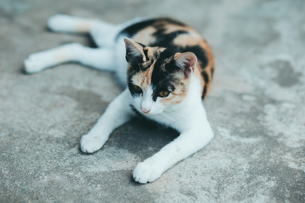 Gros plan un chat sur le sol en ciment, peau de chat thaïlandaise.