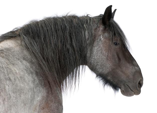 Gros plan, de, cheval belge, gros plan, de, cheval lourd belge, brabancon, une race de cheval de trait, debout sur blanc isolé