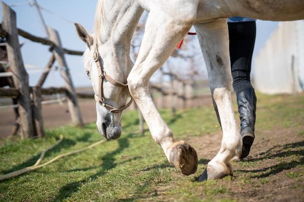 Gros plan d'un cheval avec bride paissant à côté d'un mur blanc