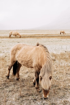 Un gros plan d'un cheval bronzé avec une belle crinière il pince l'herbe enneigée le cheval islandais est un