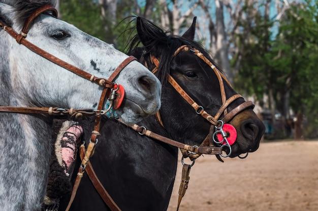Gros plan sur des chevaux gaucho argentins.