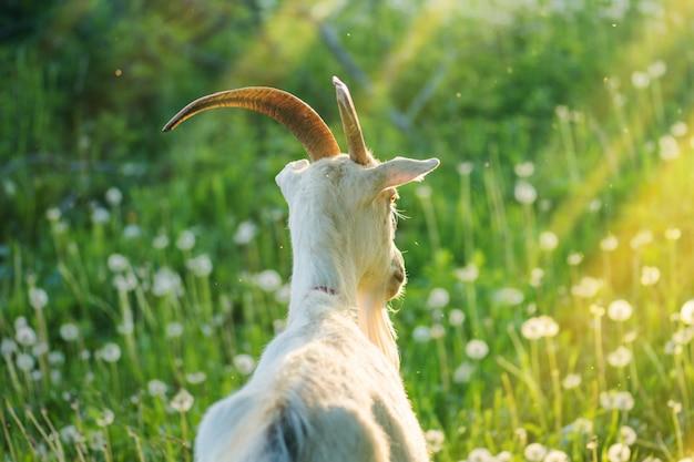 Gros plan, chèvre chèvre blanche dans un champ. gros plan d'une chèvre curieuse