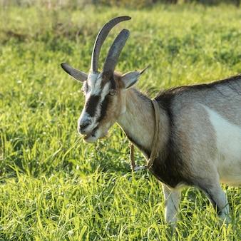 Gros plan de chèvre domestique dans la nature