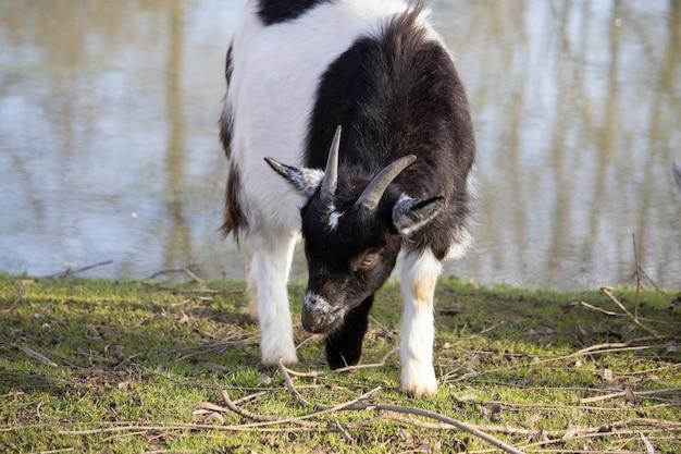 Gros plan d'une chèvre noir et blanc paissant à côté d'un étang
