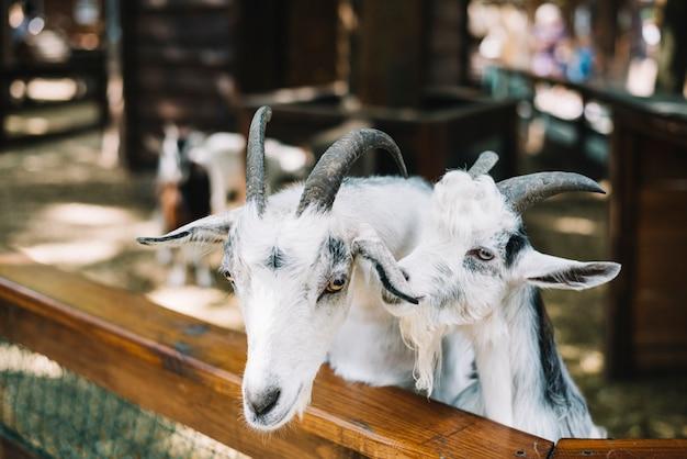 Gros plan de chèvres blanches domestiquées