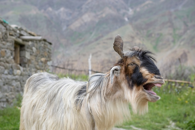 Gros plan de chèvres du cachemire, inde