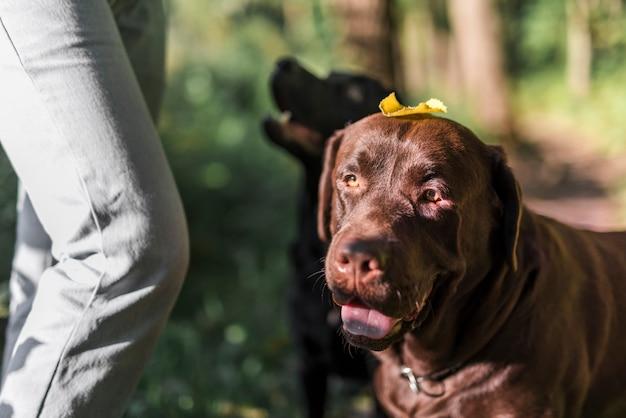 Gros plan d'un chien brun avec une feuille d'automne sur sa tête