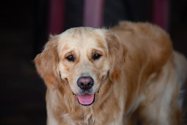 Gros plan sur chien labrador doré