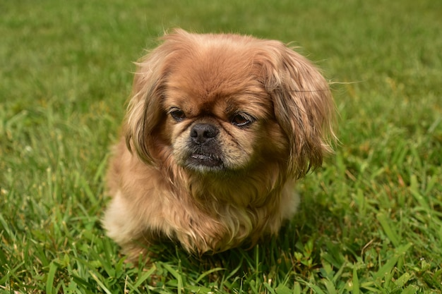 Gros plan sur un chien pékinois blond moelleux jouant dehors dans l'herbe verte.