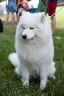 Gros plan sur un chien samoyède blanc sur l'herbe