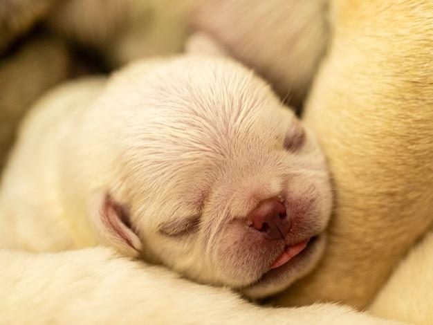 Gros plan sur un chiot carlin blanc dormant sur ses frères et sœurs,
