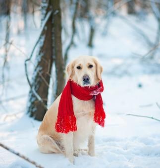 Gros plan chiot golden retriever blanc dans une écharpe rouge