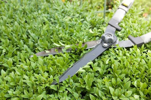 Gros plan des ciseaux pour couper des buissons sur un buisson de buis. tailler les buissons dans le jardin