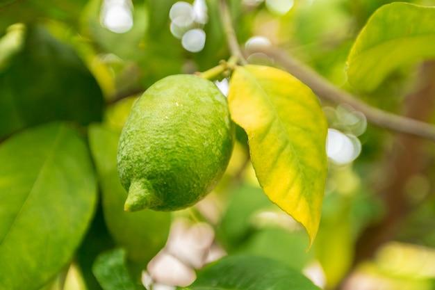 Gros plan de citron sur un arbre