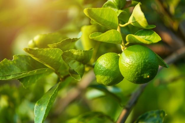 Gros plan de citrons verts poussent sur le citronnier dans un jardin d'agrumes en thaïlande.