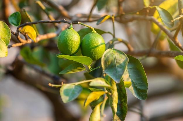 Gros plan de citrons verts poussent sur le citronnier