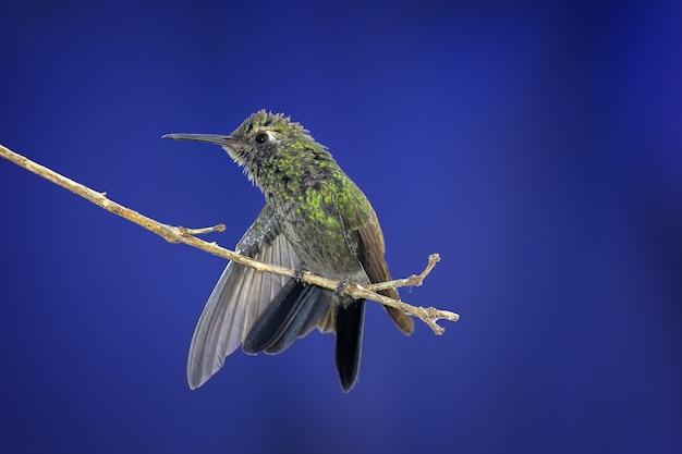 Gros plan d'un colibri perché sur une branche d'arbre sur un arrière-plan flou