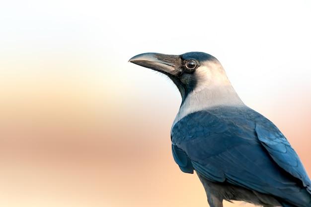 Un gros plan d'un corbeau de maison