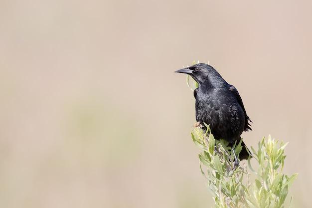 Gros plan d'un corbeau noir sur fond violet lisse