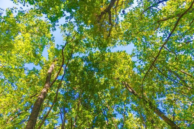 Gros plan de la couronne d'un chêne contre le ciel bleu