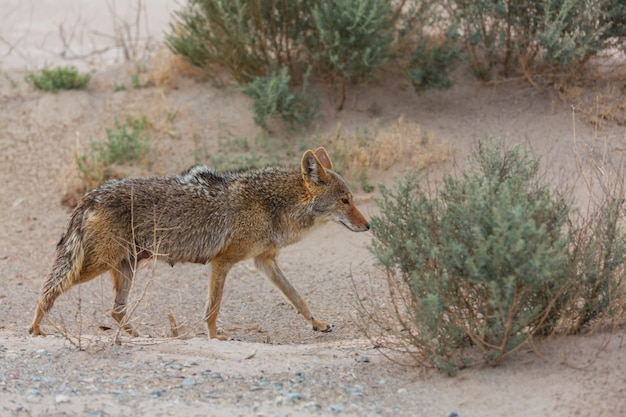 Gros plan de coyote dans le désert