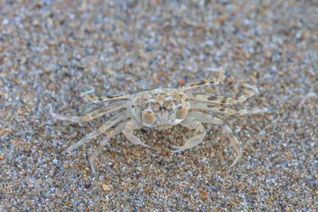 Gros plan crabe fantôme