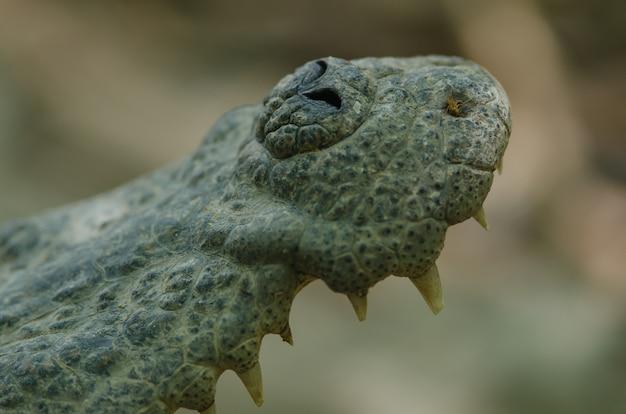 Gros plan, de, crocodile siamois