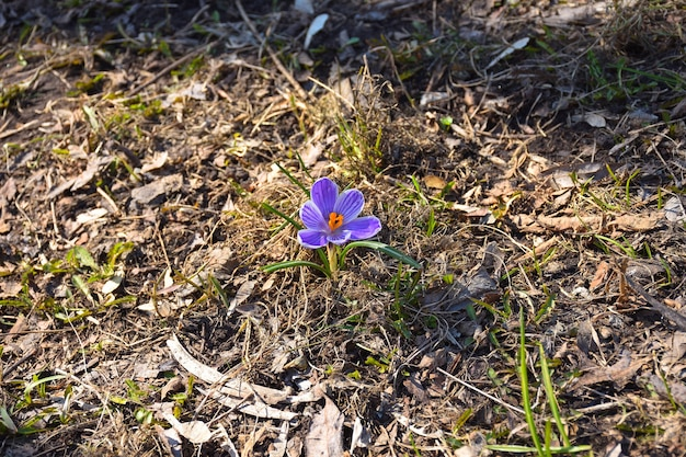 Gros plan de crocus bleu printemps solitaire
