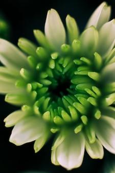 Gros plan, de, a, croissance, gerbera, fleur