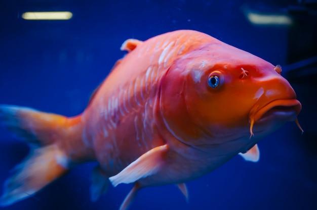 Gros plan sur cyprinus carpio. un énorme poisson orange dans l'aquarium.