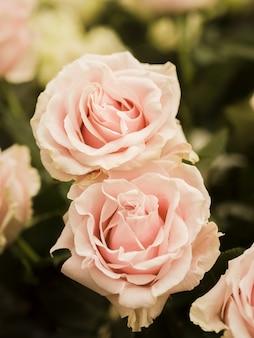 Gros plan de délicates roses de printemps