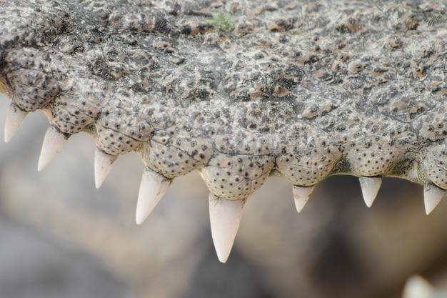 Gros plan des dents d'un crocodile.