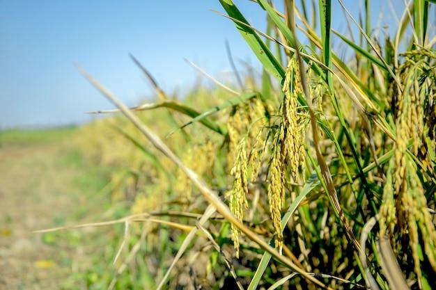 Gros plan sur le détail de la rizière