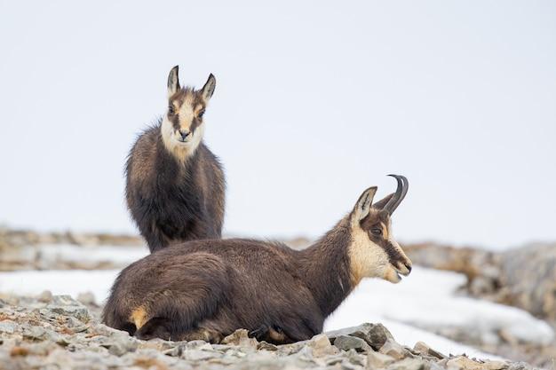 Gros plan de deux chamois sur les rochers en hiver