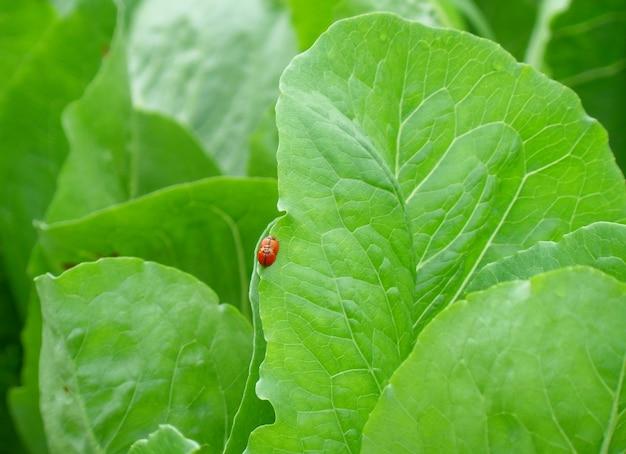 Gros plan, deux, coccinelle rouge, faire, amour, bord, de, feuille vert clair