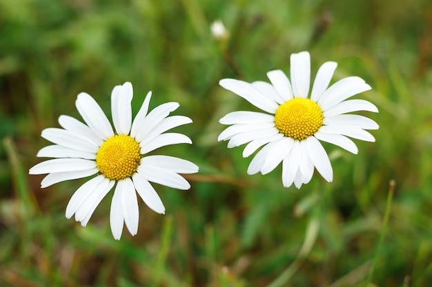 Gros plan de deux fleurs de camomille