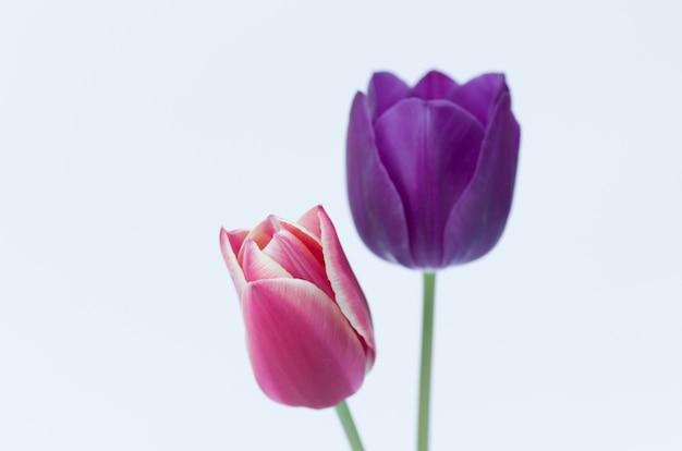 Gros plan de deux fleurs de tulipes colorées isolé sur fond blanc avec un espace pour votre texte