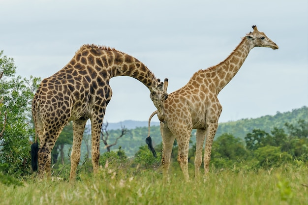 Gros plan de deux girafes marchant dans un champ vert pendant la journée