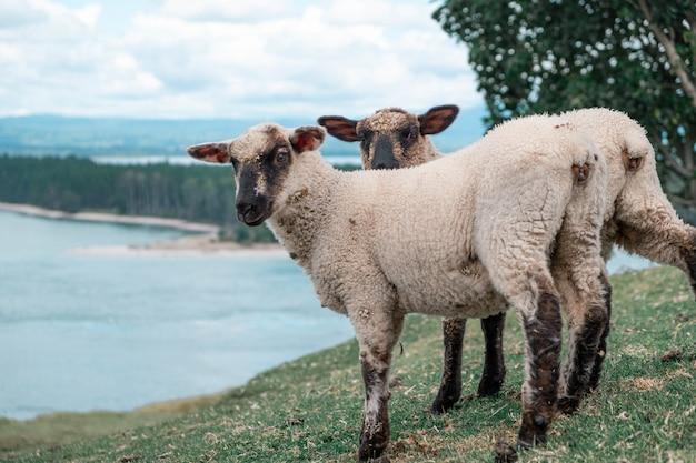 Gros plan de deux moutons au bord du lac