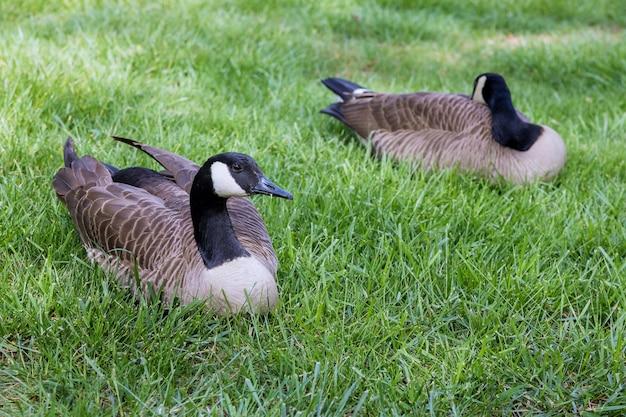 Un gros plan de deux oies sauvages cendrées assis sur l'herbe dans un parc