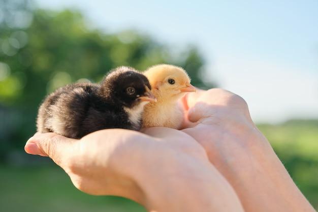 Gros plan de deux poussins de bébé dans la main de la femme. poulets nouveau-nés