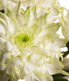 Gros plan doux de pétales de fleurs de chrysanthème blanc avec teinte chaude