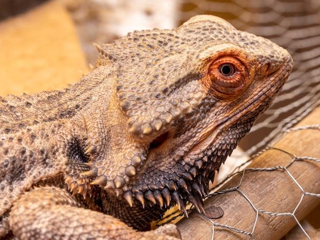 Gros plan sur un dragon barbu (pogona sp).