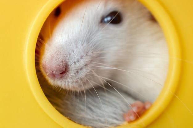 Gros plan d'un drôle de rat domestique blanc avec de longues moustaches assis dans une maison pour animaux de compagnie en plastique jaune.