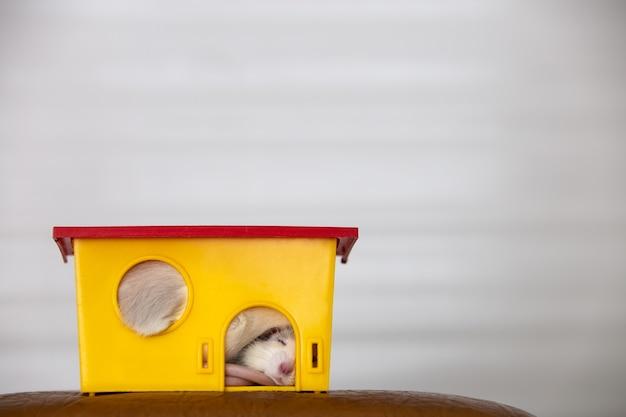 Gros plan d'un drôle de rat domestique blanc avec de longues moustaches dormant dans une maison pour animaux de compagnie en plastique jaune.