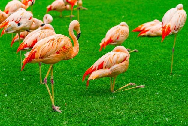 Gros plan du beau groupe de flamants roses sur l'herbe dans le parc