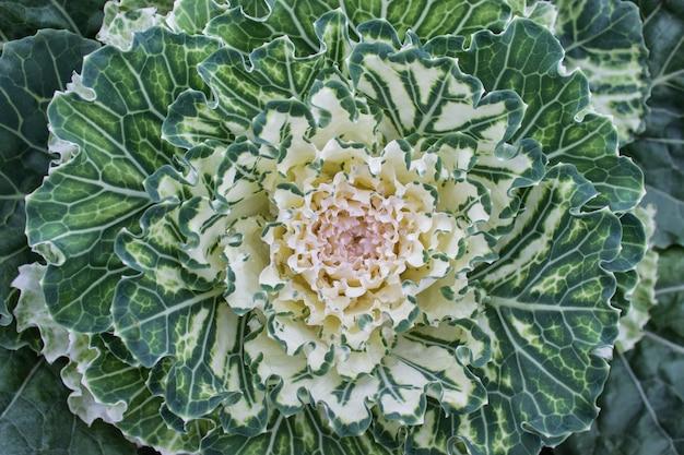 Gros plan du bel élément de jardinage de chou décoratif vert blanc avec fractale comme des feuilles teintes