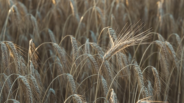 Gros plan du blé tendre dans un champ sous la lumière du soleil avec un arrière-plan flou